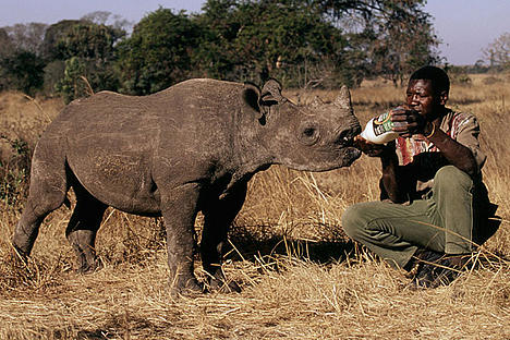Poachers killed this black rhino's mother, cutting off her horn to sell on the Illegal Wildlife Trade market.