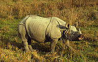 Rhinoceros unicornis  (Greater one-horned rhinoceros), Royal Chitwan National Park, Nepal