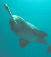 Plataniste or Ganges river dolphin