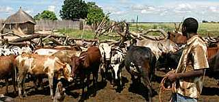 Corraling cattle to protect from elephants © WWF-Canon / Folke WULF
