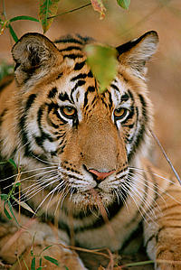 Tiger (Panthera tigris), Bandhavgarh National Park, India.