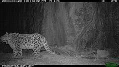Snow leopard, night-time camera trap image, Wangchuck Centennial Park, Bhutan, October-November 2011 © Royal Government of Bhutan (DoFPS) and WWF
