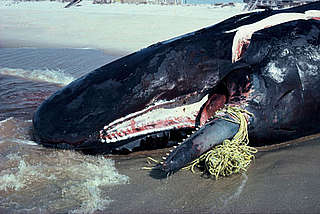 Sperm whale (Physeter macrocephalus), stranded dead. Jaw broken from escape attempts.