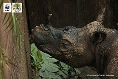 first contact with Sumatran rhino in over 40 years