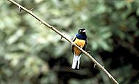 Surucua trogon, Atlantic Rainforest, Brazil