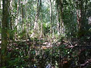 Swamp forest habitat of Javan rhino