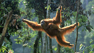 Orang-utan with young