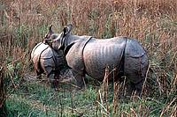 Indian rhinoceros, mother and calf.  Chitwan National Park, Nepal