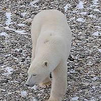 A curious polar bear gets up close to the Tundra Buggy and the people working inside.