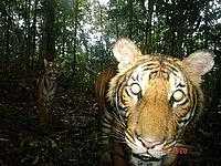 Malayan tiger - camera trap photo of the year © Mark Rayan Darmaraj