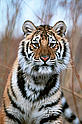 Amur or Siberian tiger<br />