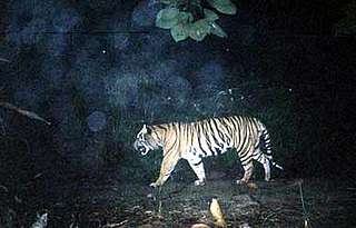 Sumatran tiger walks past WWF