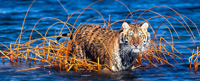Panthera tigris altaica Siberian tiger In a lake