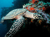 Hawksbill turtles (Eretmochelys imbricata) live on coral reefs, which are widely threatened by warming and acidifying seas, a result of climate change