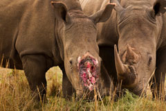 Two Rhino's, one without a horn. Copyright Brent Stirton, Getty Images