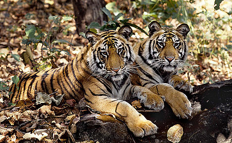 Two tigers (Panthera tigris) lying side-by-side.