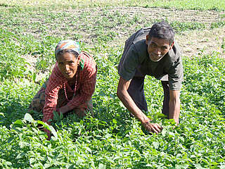 Farmers tending to their Mint crop. Royal Bardia National Park, Nepal
