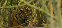A female Bengal tiger (Panthera tigris tigris) resting in the undergrowth of a mangrove forest in the Southeast Sundarbans, Khulna Province, Bangladesh, April 2006.