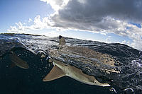 Blacktip reef shark - Indian Ocean