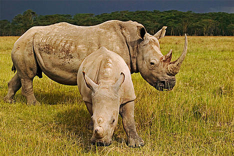 White Rhinoceros (Ceratotherium simum), adult female with calf in Kenya