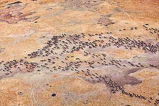 Blue wildebeest migration, Masai Mara National Reserve, Kenya