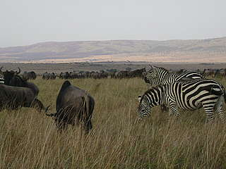 Zebra and Wildebeest - Mara River Basin
