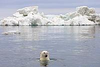 Polar bear swimming in front of an iceberg, Arctic Ocean, Alaska
