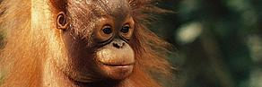 Photo of baby Orang-utan