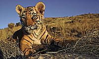 Two month old tiger cub