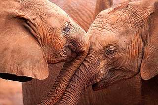 Two African elephants.