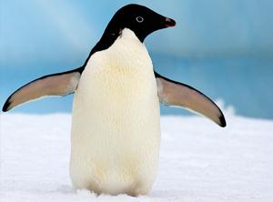 Bildergebnis für adelie penguin